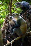 Graue Affen in Jozani Forest National Park, Sansibar Lizenzfreies Stockfoto