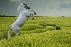 Graue Aufzucht auf dem Weizengebiet Stockfoto
