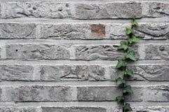 Graue Backsteinmauer mit Efeu stockbilder