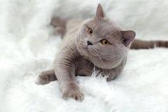 Graue britische Katze stockfoto
