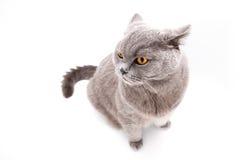 Graue britische Katze lokalisiert Stockfotografie