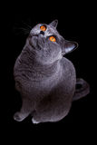 Graue britische Katze mit dunklen gelben Augen Stockfotografie