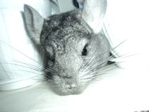 Graue Chinchilla Lizenzfreies Stockbild