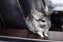 Graue Chinchilla, die Sie betrachtet Hübsches Haustier lizenzfreies stockbild