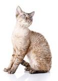 Graue Devon-rex Katze mit den großen Ohren auf weißem Hintergrund Stockfoto