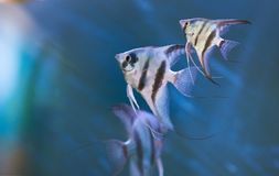 Graue Dreieckfische Stockfotografie