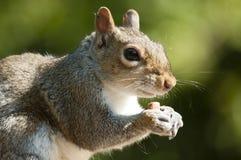 Graue Eichhörnchennahaufnahme Stockfotos