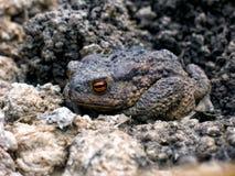 Graue Erdkröte wachte im Frühjahr auf stockbilder