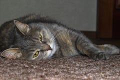Graue erwachsene nicht reinrassige Katze liegt auf dem Boden, der die Vorderpfoten ausdehnt lizenzfreies stockbild