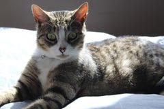 Graue Europeeun-Schwarzweiss-Katze der getigerten Katze stockfotografie