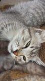 Graue faule Katze stockbilder