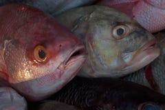 Graue Fische mit blauem Auge hinten und vor einem roten Fisch mit ausbauchenden Augen und offenem Mund Stockbild