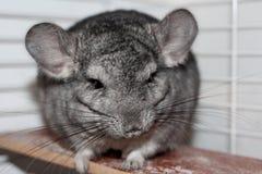 Graue flaumige Chinchilla, die auf einem hölzernen Brett in einem Käfighaustierhaus sitzt stockbild