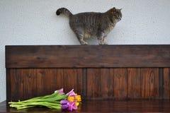 Graue flaumige Katze mit Tulpen Stockfotografie