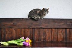 Graue flaumige Katze mit Tulpen Lizenzfreies Stockfoto