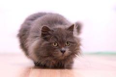 Graue flaumige spielerische Katze Lizenzfreie Stockfotos