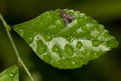 Graue Fliege auf einem Blatt, Draufsicht Lizenzfreies Stockfoto