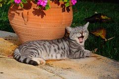 Graue gähnende Katze. Stockfoto