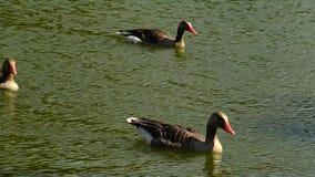 Graue Gänse auf dem See; Reflexion im Wasser, Askania-Nova, Ukraine stock video