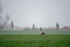 Graue Gänse, die auf einem grünen Feld stillstehen stockfotografie