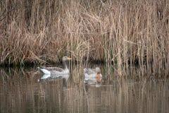 2 graue Gänse, die auf einem See schwimmen stockfoto
