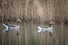 2 graue Gänse, die auf einem See schwimmen lizenzfreie stockfotografie