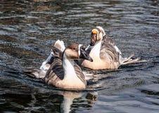 Graue Gans, die auf den Teich im japanischen Garten schwimmt stockfotos