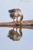 Graue Gans trinkt Wasser im Teich und wird reflektiert Lizenzfreie Stockfotos