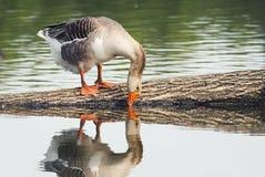 Graue Gans trinkt Wasser im Teich und wird reflektiert Lizenzfreie Stockbilder