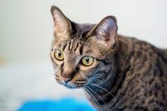 Graue gestreifte Katze Lizenzfreies Stockfoto