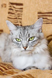 Graue gestreifte Katze, die auf dem Sofa liegt Lizenzfreie Stockfotos
