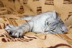 Graue gestreifte Katze, die auf dem Sofa liegt Lizenzfreies Stockfoto