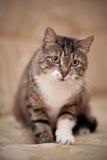 Graue gestreifte Katze mit grünen Augen und einer weißen Tatze Stockbilder