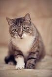 Graue gestreifte Katze mit grünen Augen und einer weißen Tatze Lizenzfreie Stockbilder