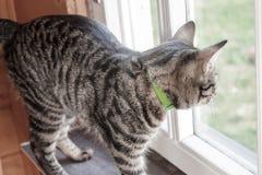 Graue gestreifte Katzenstellung auf einem Fensterbrett und Schauen aus dem Fenster heraus lizenzfreie stockfotografie