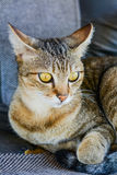 Graue getigerte Katze Lizenzfreies Stockfoto