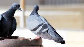 Graue indische Taube man des Schleppseiles ist Trinkwasser in einem Topf lizenzfreie stockfotografie