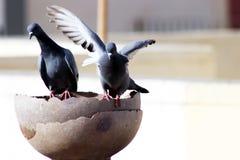 Graue indische Taube man des Schleppseiles ist Trinkwasser in einem Topf lizenzfreie stockfotos