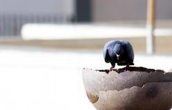 graue indische Taube man ist Trinkwasser in einem Topf lizenzfreie stockfotografie