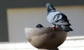 Graue indische Taubengruppe ist Trinkwasser in einem Topf lizenzfreie stockfotos