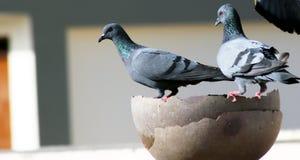 Graue indische Taubengruppe ist Trinkwasser in einem Topf stockfotografie
