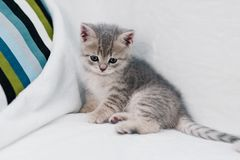 Graue Kätzchen, die auf einem weißen Sofa spielen stockfotografie