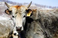 Graue Kühe Lizenzfreies Stockbild