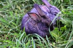 Graue Kaninchen Stockbild
