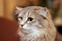 Graue Katze Stockbilder