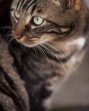 Graue Katze Stockfoto