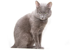 Graue Katze Lizenzfreie Stockfotos