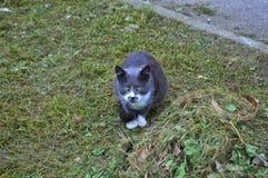 Graue Katze auf dem Gras Stockbilder