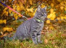 Graue Katze auf einem Weg im Herbstpark stockfoto