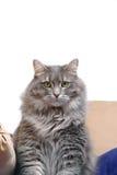 Graue Katze auf Kissen lizenzfreie stockfotos